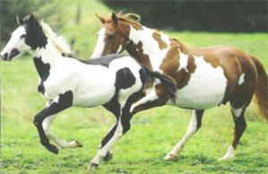 En 1965, naissance de la race du Paint Horse.